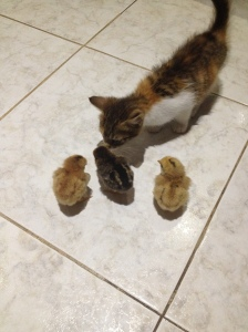 Éclair the kitten meets her new friends.  This also lasted about two minutes until she realized what fun toys these could be.